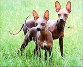 голые собаки