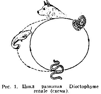 схема распространения диоктофимоза