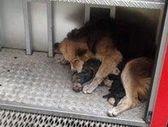 собака спасает щенков из горящего дома