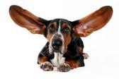 как собака сліышит