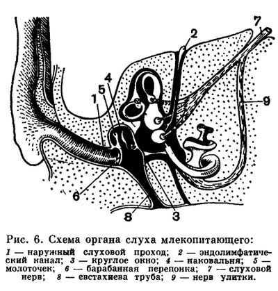 Наружное ухо принимает