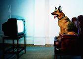 первый телеканал для собак
