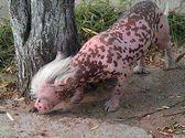розовая китайская хохлатая собака