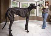 самая высокая собака на планете