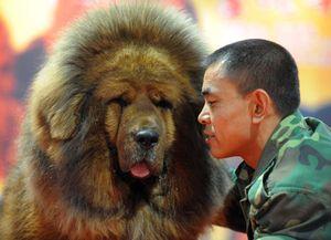 тибетский мастифф