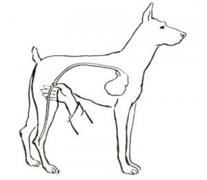 Измерение пульса собаки