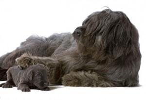 Бриар со щенком