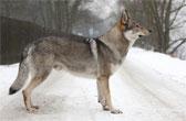 Порода чехословацкий влчак