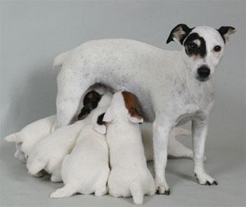 Джек-рассел-терьер со щенками