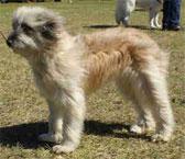 Порода длинношерстная пиренейская овчарка
