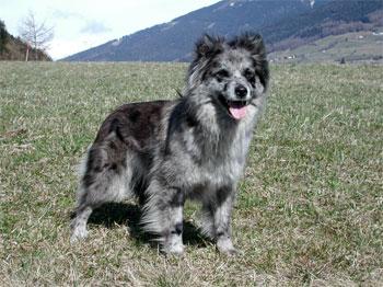 Короткошерстная пиренейская овчарка