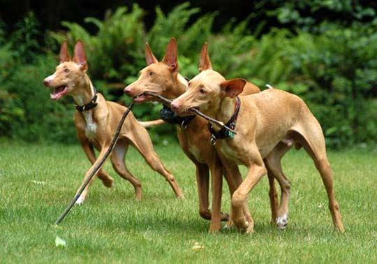 Фараоновы собаки