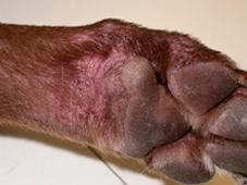 Атопический дерматит на лапе
