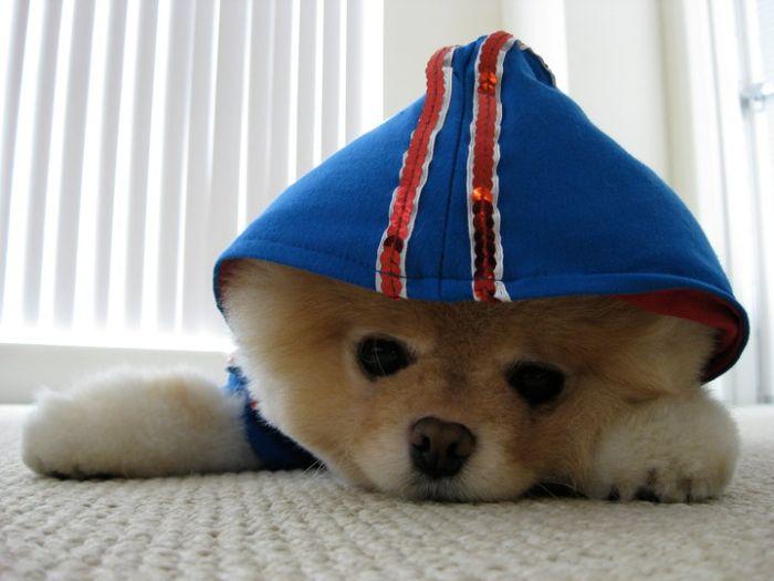 Фото собаки Бу (Boo)