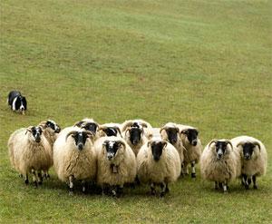 Бордер-колли с овечками