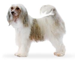 Китайская хозлатая собачка (пуховая)