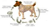 Дипилидиоз у собак