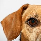 Уход за глазами старых собак