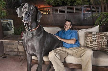 Cамая большая в мире собака сидит