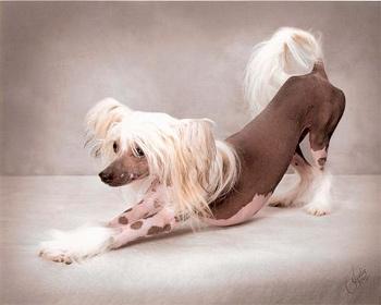Китайская хохталая собачка