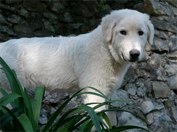 Мареммано-абруццкая овчарка