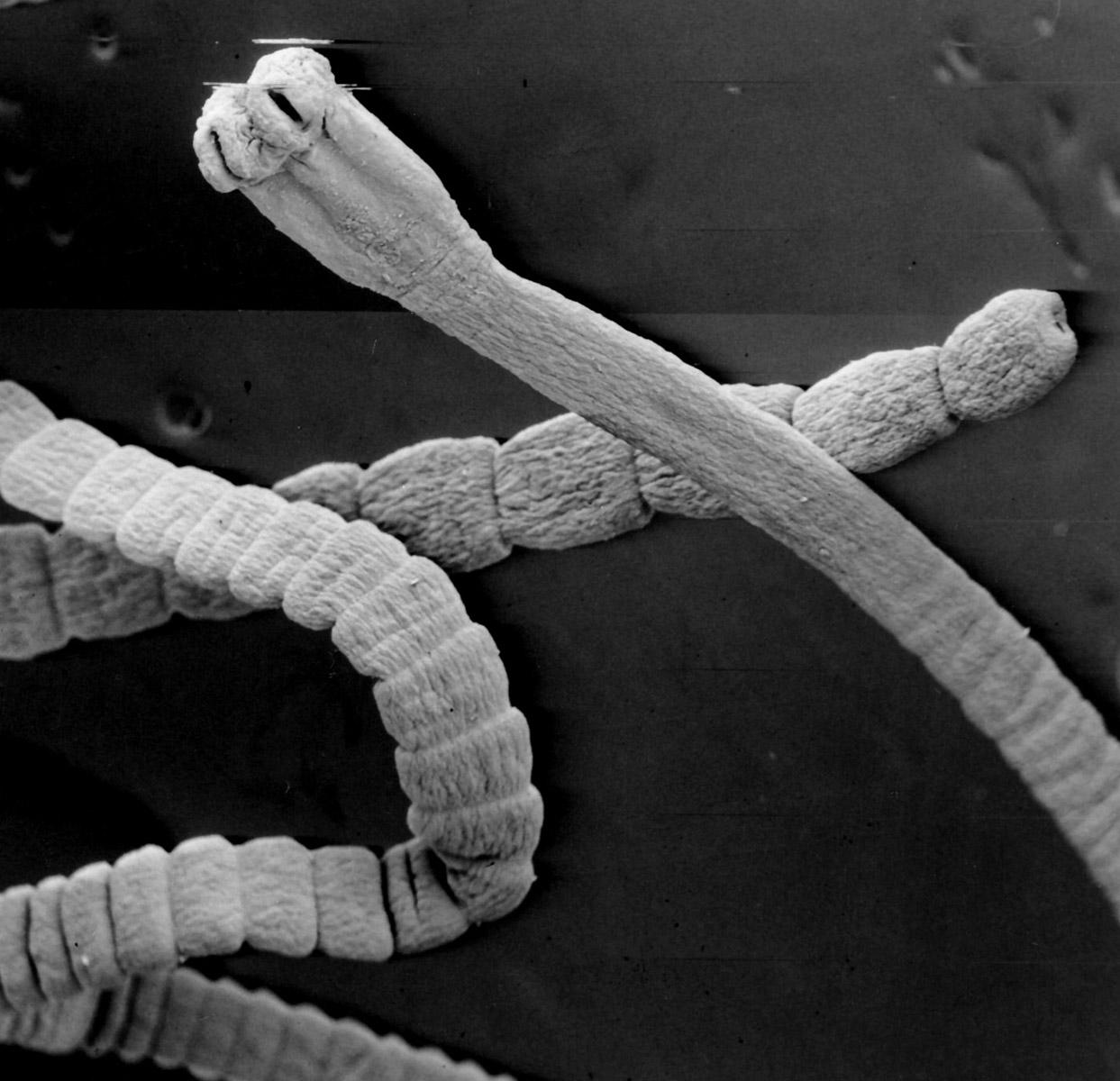 ...lineatus, личинки которого поначалу развиваются в почвенном клещике,а затем в организме мышей и ящериц.