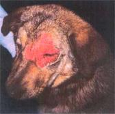 Пиодермит у собак