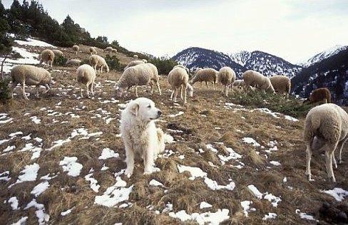 Пиренейская горная собака
