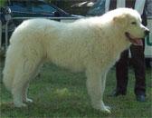 Порода мареммано-абруцкая овчарка
