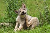 Токсидермия у собаки