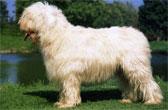 Порода южнорусская овчарка