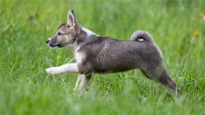 Западносибирская лайка, щенок