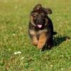 «К доске!» по-собачьи: обучаем щенка играм