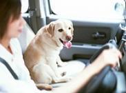 Как приучить собаку охранять автомобиль?