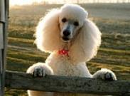 Учимся стричь и тримминговать собаку. Часть первая