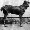 Собака, которая вошла в историю. Легендарный Треф и его наследники
